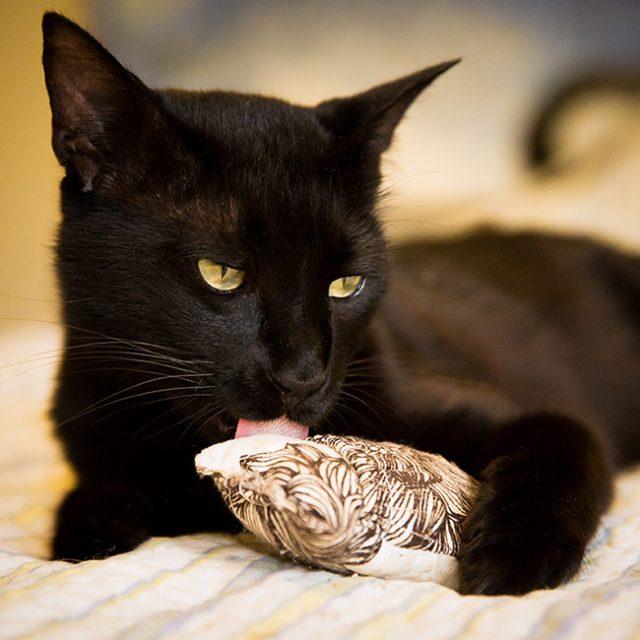 Black kitty licking catnip toy